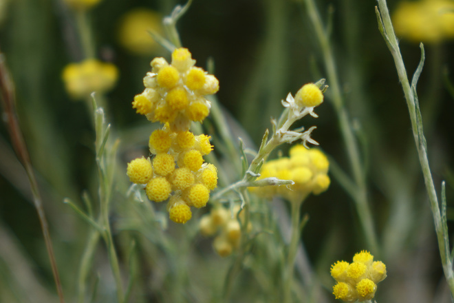 Immortelle @ Nature Occitane